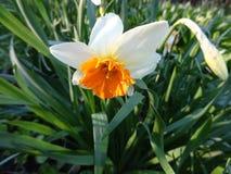 开花在花圃里的美丽的黄水仙 免版税图库摄影