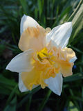开花在花圃里的美丽的黄水仙 免版税库存照片