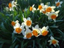 开花在花圃里的黄水仙在春天晴天 库存图片