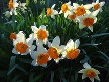 开花在花圃里的黄水仙在春天晴天 库存照片