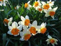 开花在花圃里的黄水仙在春天晴天 免版税库存照片