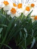 开花在花圃里的黄水仙在春天晴天 图库摄影