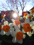 开花在花圃里的黄水仙在春天晴天 免版税库存图片