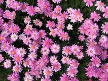 开花在花束的桃红色延命菊雏菊花 免版税图库摄影