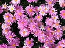 开花在花束的桃红色延命菊雏菊花 库存图片