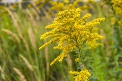 开花在草甸的夏天的菊科植物 库存图片