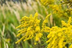 开花在草甸的夏天的菊科植物 图库摄影