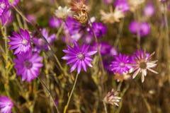 开花在草甸的桃红色花 免版税库存图片