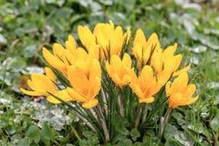 开花在草甸的番红花 库存图片