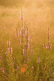 开花在草甸的花 免版税库存图片