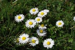开花在草甸的雏菊花 图库摄影