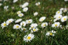 开花在草甸的雏菊花 免版税库存图片