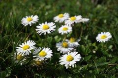 开花在草甸的雏菊花 库存照片