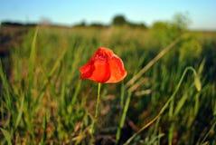 开花在草草甸天际背景、线和明亮的天空蔚蓝中的红色狂放的鸦片花 库存照片