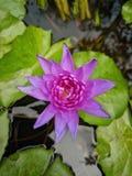 开花在莲花罐的水的一朵美丽的紫罗兰色莲花 库存照片
