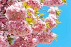 开花在蓝天的桃红色樱桃树 库存图片