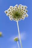 开花在蓝天背景的沼泽peucedanum 图库摄影