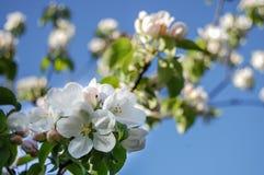 开花在蓝天背景的苹果树 免版税库存图片