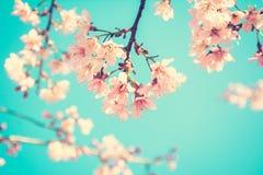 开花在蓝天背景-葡萄酒口气的桃红色佐仓花 库存图片