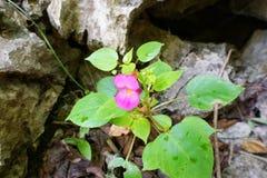 开花在被弄脏的石背景的森林里的桃红色花 库存照片