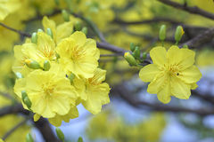 开花在越南旧历新年的杏子花 免版税库存图片