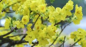开花在越南旧历新年的杏子花 免版税图库摄影