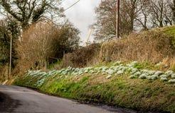 开花在路旁的Snowdrops 免版税库存照片