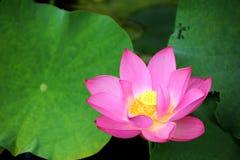 开花在醉汉中的可爱的桃红色莲花在池塘离开在明亮的夏天阳光下 免版税库存图片