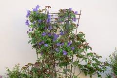开花在金属庭院框架的铁线莲属 免版税库存照片
