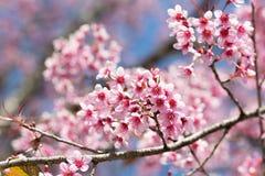 开花在阳光下的佐仓bloominsakura和蓝色skyg在阳光下和蓝天,清迈, Thailan 免版税库存照片
