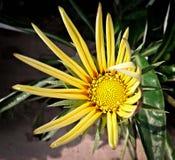 开花在阳光下的向日葵 免版税库存照片