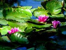 开花在阳光关闭的池塘的桃红色荷花backround图片 库存照片