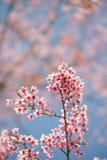 开花在阳光和蓝天下的佐仓 图库摄影