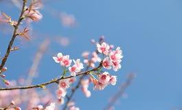 开花在阳光和蓝天下的佐仓 库存图片