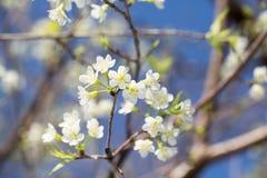 开花在阳光和蓝天下的佐仓 免版税图库摄影