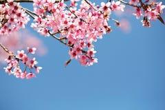 开花在阳光和蓝天下的佐仓 库存照片