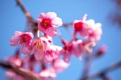 开花在阳光和蓝天,清迈, Thailan下的佐仓 库存图片