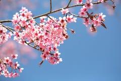 开花在阳光和蓝天,清迈, Thailan下的佐仓 图库摄影
