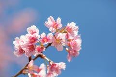 开花在阳光和蓝天,清迈, Thailan下的佐仓 免版税库存图片