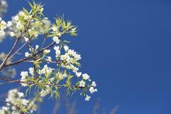 开花在阳光和蓝天,清迈, Thailan下的佐仓 免版税库存照片