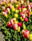 开花在阿姆斯特丹的郁金香 免版税图库摄影