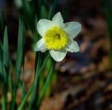 开花在阿肯色的白色和黄色Jonquil 免版税库存图片