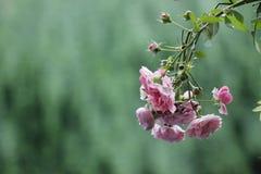 开花在雨以后的五颜六色的花 库存照片