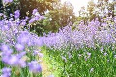 开花在雨季的山的热带紫罗兰色花 库存照片