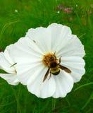 开花在雨季的庭院里的白色波斯菊花与蜂群集 免版税库存图片