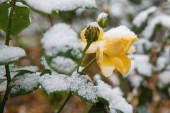 开花在雪下的黄色玫瑰 库存图片