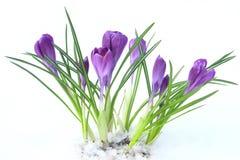 开花在雪的紫罗兰色番红花,春天 库存照片