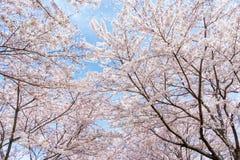 开花在韩国的樱桃在春季期间 库存照片