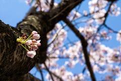 开花在韩国的樱桃在春季期间 库存图片