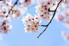开花在韩国的樱桃在春季期间 免版税库存照片